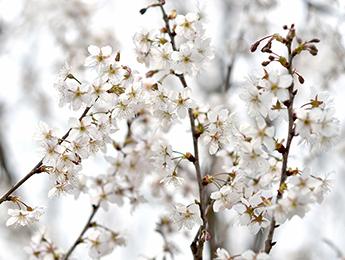 樱桃花开迎客来 4月中旬樱桃上市