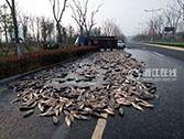 衢州一拉鱼车侧翻 7千斤大头鱼被晾在公路上