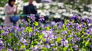 杭州正式入春 柳浪闻莺成紫色海洋