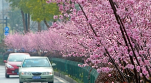 春色醉人 杭州街头樱花锦绣