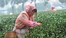 杭州茶农冒雨抢摘明前茶