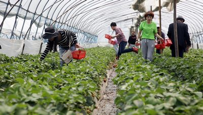 杭州游客清明踏春采草莓