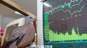 杭州有只爱炒股的鸽子