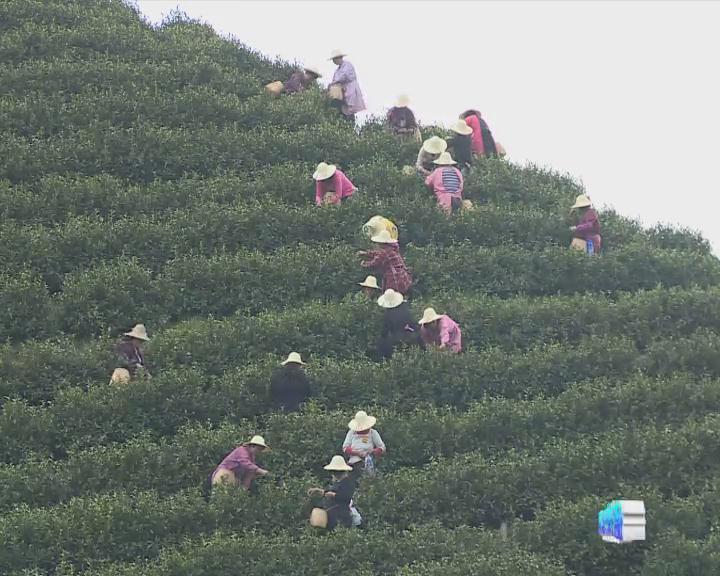 150502《德视聚焦》德清茶业:谋求转型升级新春天
