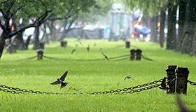 杭州白堤成群燕子低飞觅食