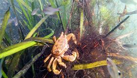 西湖新发现:黄金蟹太萌蠢