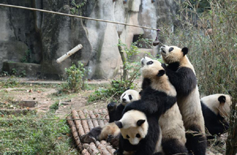 """大熊猫""""叠罗汉""""领食物"""