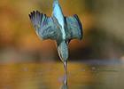 摄影师花6年拍翠鸟完美入水照