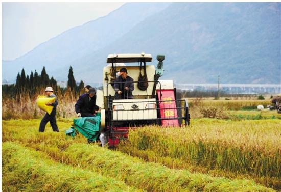舟山:农户抢晴收晚稻