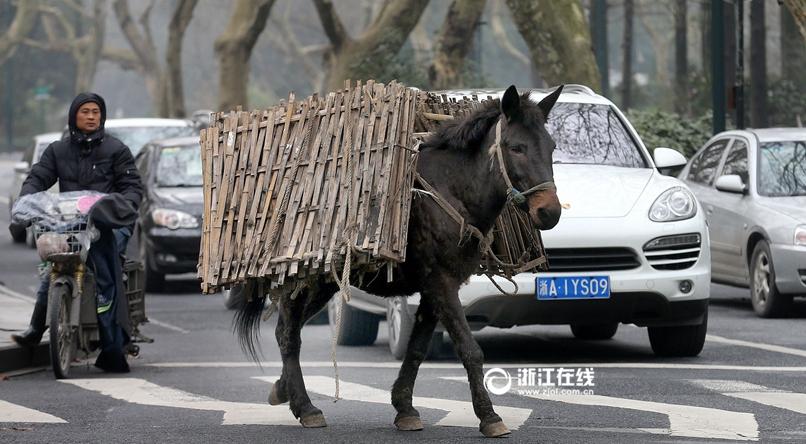 杭州一骡子逃跑一路人车让道