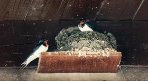 世界地球日 燕子忙筑巢