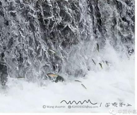 """逆流而上的鱼群接受浪头洗礼 温州惊现""""飞鱼""""奇观"""