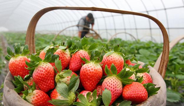 诸暨草莓陆续上市