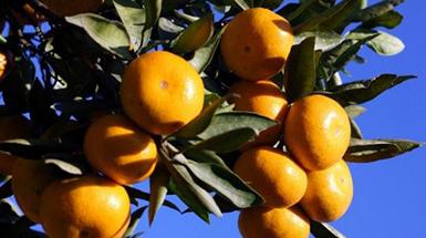 """宁波地产柑橘的甜蜜""""变形记"""""""