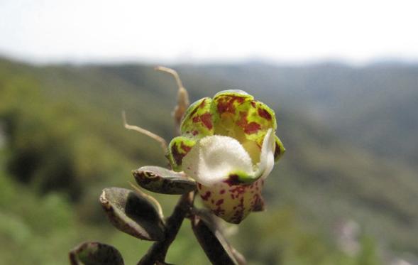 宁波首次发现!珍稀兰科植物中华盆距兰现身四明山崖壁