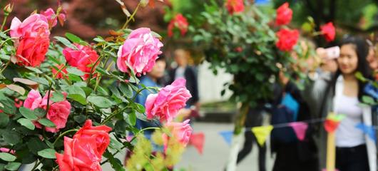 月季盛放迷人眼 游客争拍成花迷