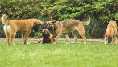 四只流浪狗占领杭州孤山大草坪 和城管打游击