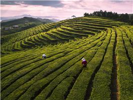 泰顺县之茶景点