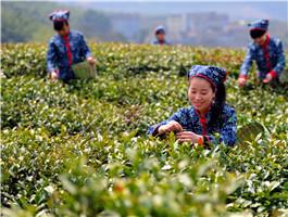 宁海县之采摘春茶