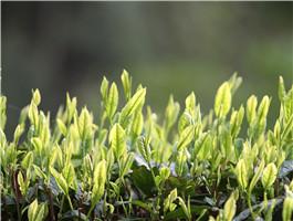 安吉县之茶景点4
