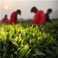 安吉县之茶景点5