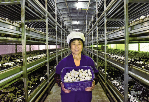 姚庄蘑菇住空调房嫁大上海