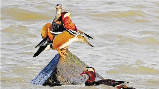 钱塘江九溪发现来杭过冬的鸳鸯 鸳鸯是候鸟还是留鸟
