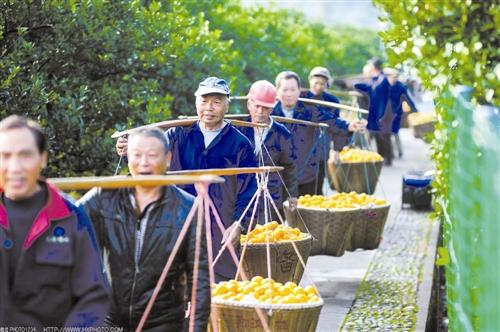 """橘绿橙黄秋正好 """"2017年台州黄岩旅游柑橘节""""今开幕"""