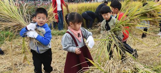杭州富阳城里娃体验收割稻谷