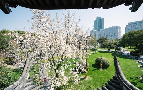 中山公園玉蘭盛放 潔白如雪