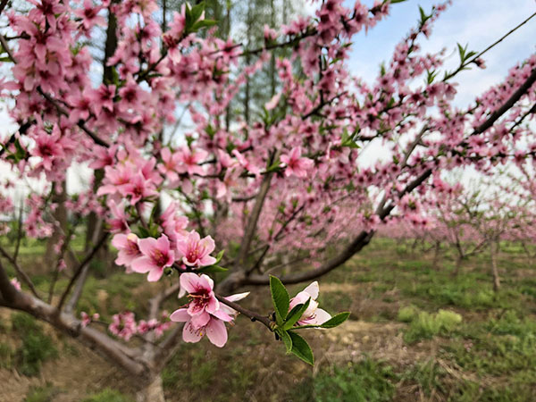 双浦的这个江中小岛有你梦寐的桃花源