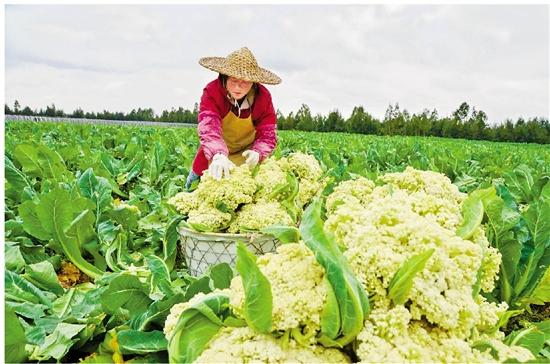 260余亩花菜进入采收期